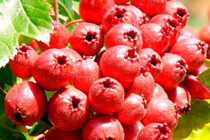 Экстракт плодов боярышника