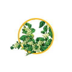 Экстракт травы эрвы шерстистой, пол-пала